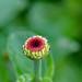 2020-MFDG277-Dig Zinnia flower bud