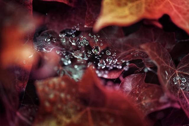 Rain drops in red surrounding 🍁 Vampire bush 😉