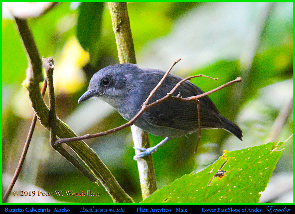 PLAIN ANTVIREO Dysithamnus mentalis Male on the Eastern Slope of the Andes in Ecuador. Photo by Peter Wendelken.