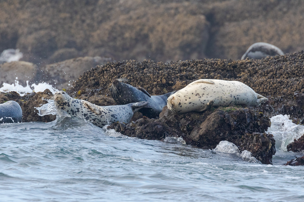 A wave begins to break over the body of the first harbor seal in a group at Cobble Beach in Yaquina Head Oustanding Natural Area in Newport, Oregon in October 2017