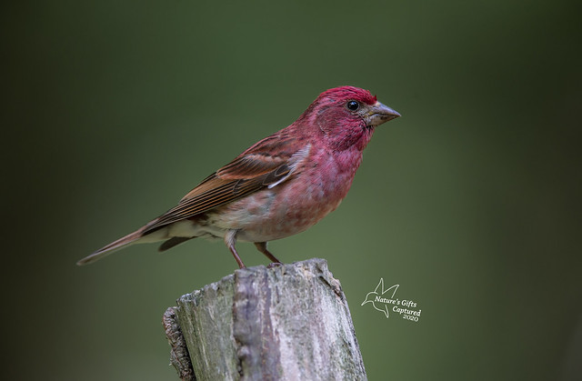 Male Purple Finch 💞
