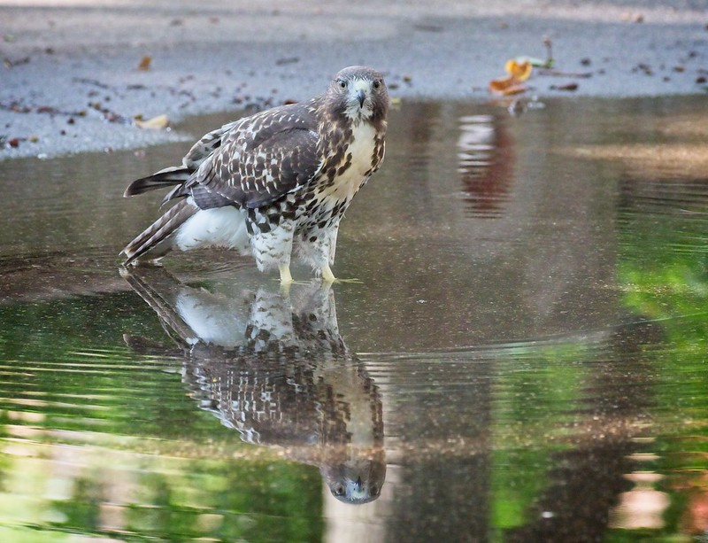 Tompkins Square red-tail fledgling cooling off