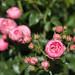 Mr. Lincoln Hybrid Tea Roses
