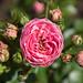 Mr. Lincoln Hybrid Tea Rose