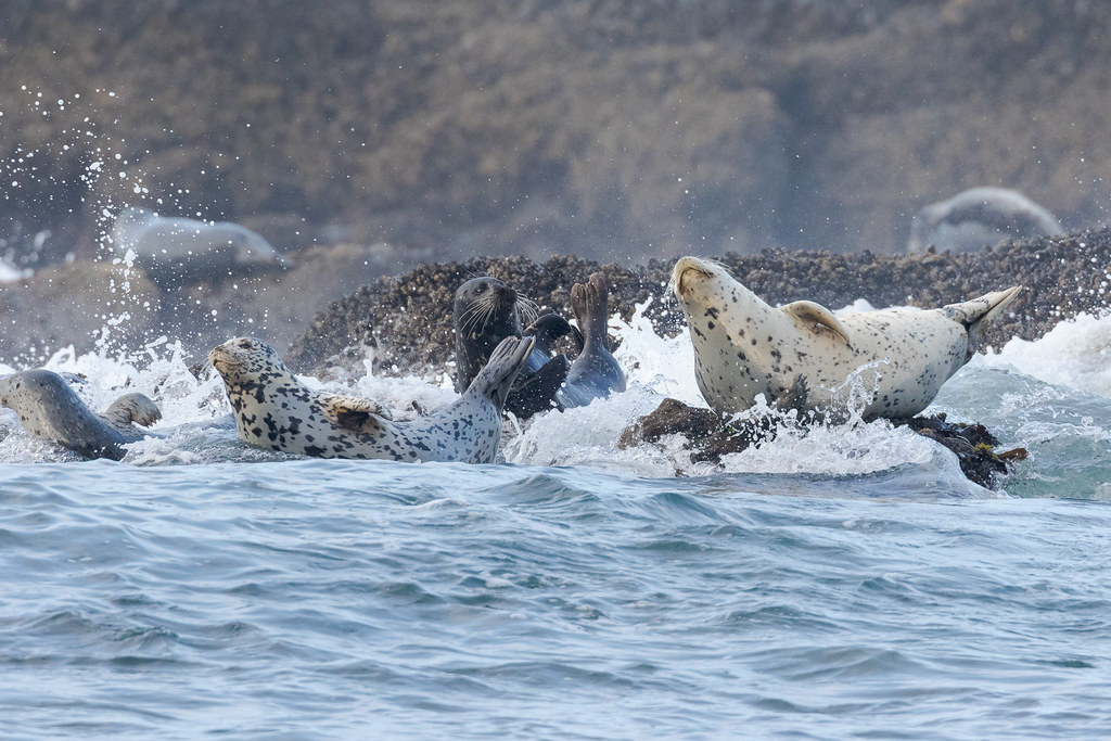 Harbor seals lift their legs as a wave breaks over them at Cobble Beach in Yaquina Head Oustanding Natural Area in Newport, Oregon in October 2017