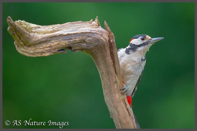 Great Spotted Woodpecker (M) on Dead Branch