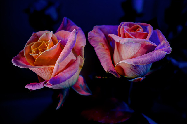 Roses in fluorescence