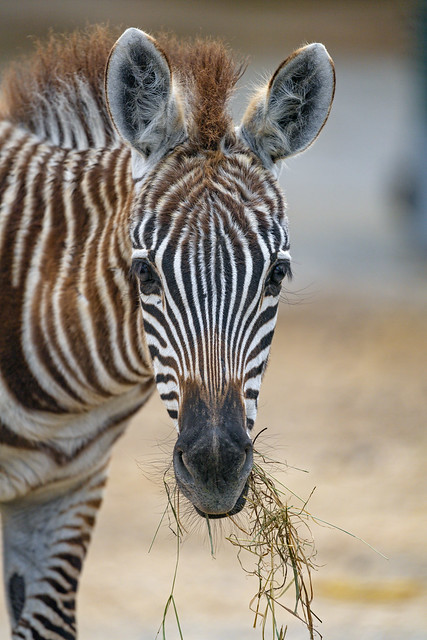 Zebra foal with hay in the mouth