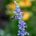 2020-MFDG279-Dig Hard working Bee on one of our Salvia Blossoms
