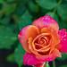 2020-MFDG270-Dig The Reddidh Orange Rose blossom