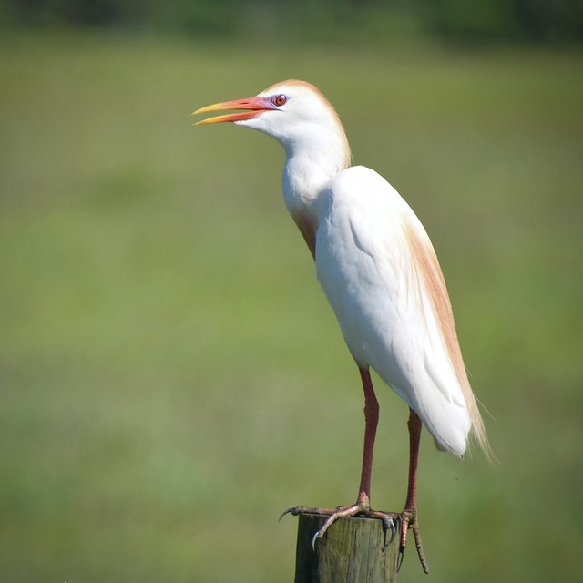 Cattle Egret with breeding plumage