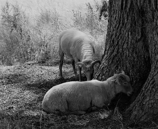 Portland sheep at Kingston Lacey, Dorset