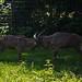 160 - Tierpark Haag - Mähnenspringer