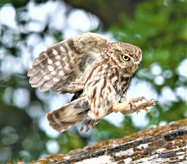 """Little Owl """"the landing"""""""