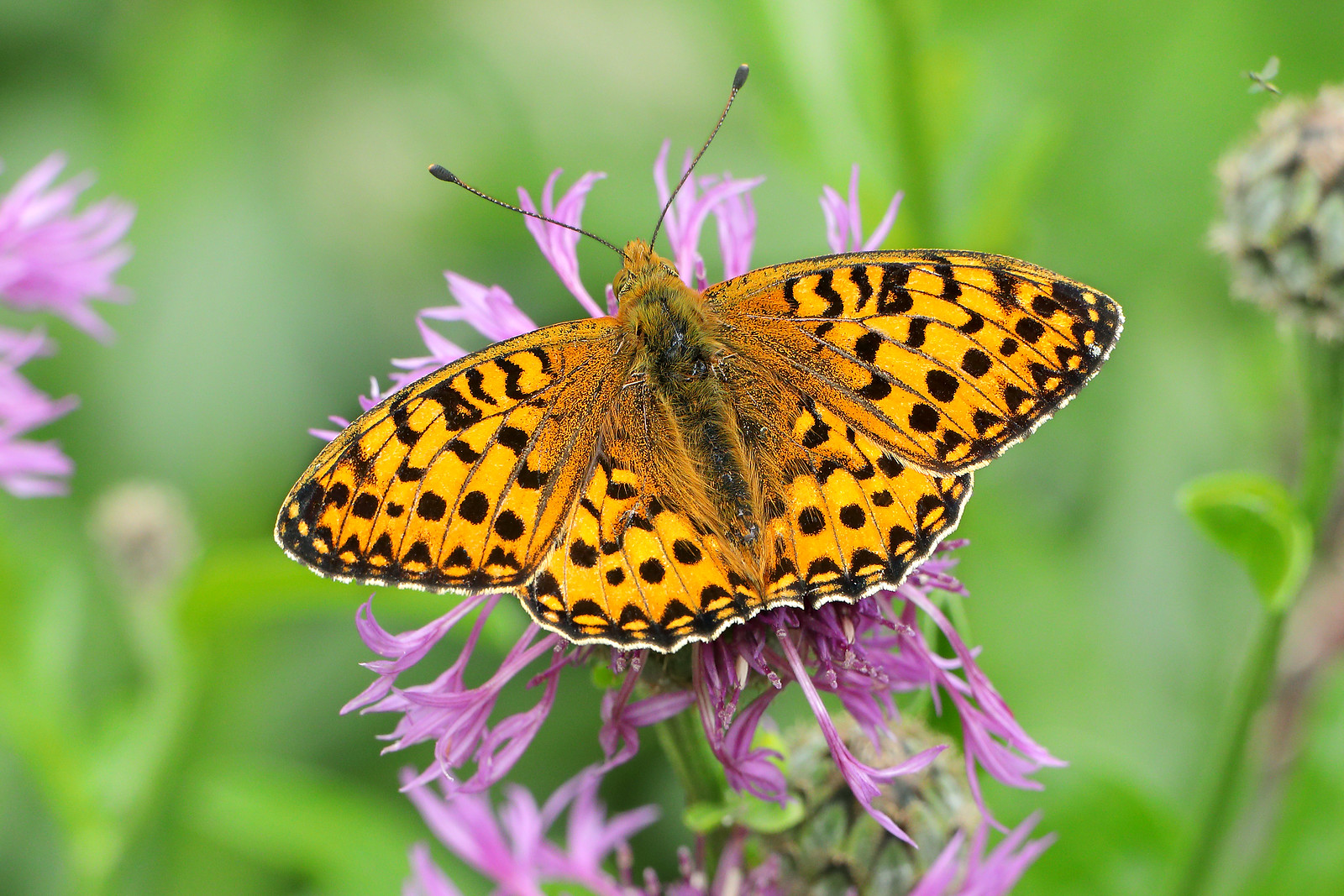 Dark Green Fritillary (male), Friston Forest