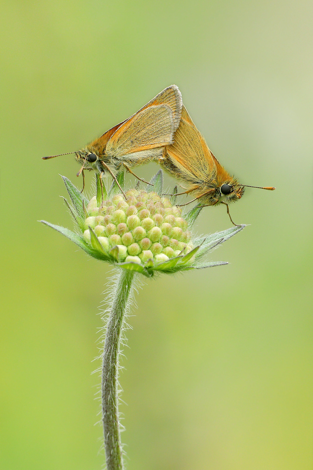 Mating Small Skippers