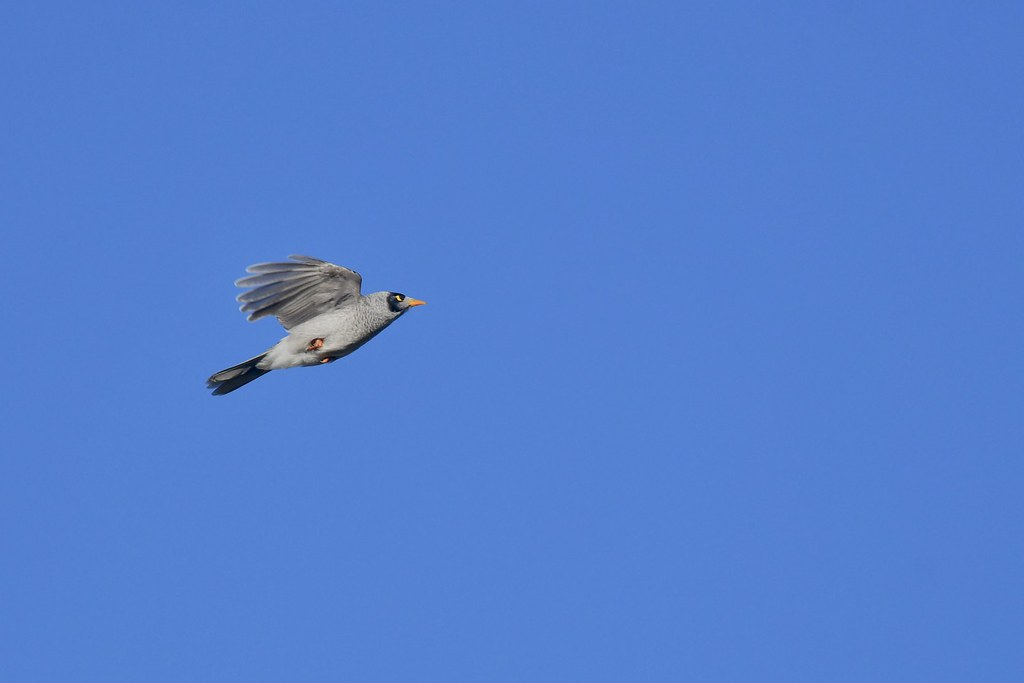 Noisy Miner ( on a mission )