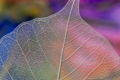 Leaf 2 husk colour background
