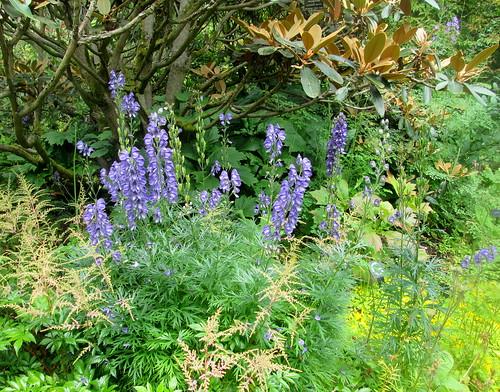 delphiniums, rhododendron, Branklyn Garden, Perth