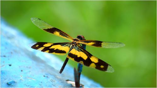 skimmer nikond5300 nikonphotography dragonfly yellowblackskimmer beautifulmacro