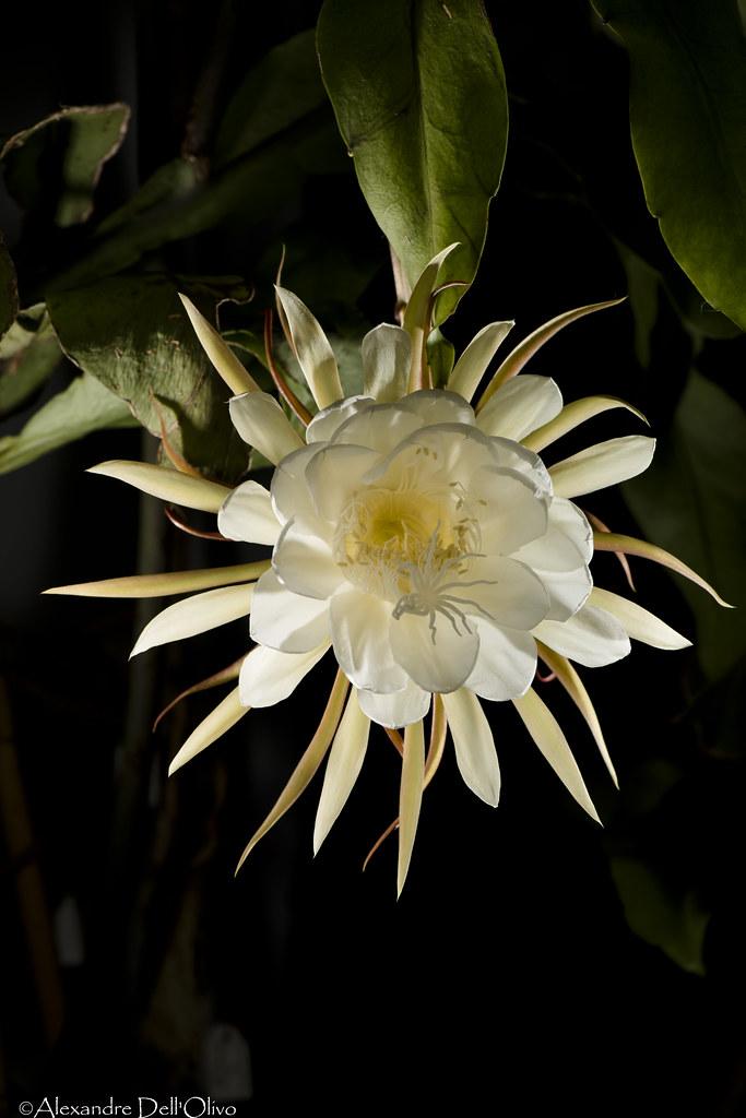 Epiphyllum oxypetalum_DSC4413