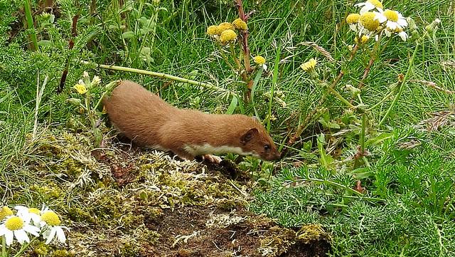 Weasel. Bempton Cliffs, July 2020