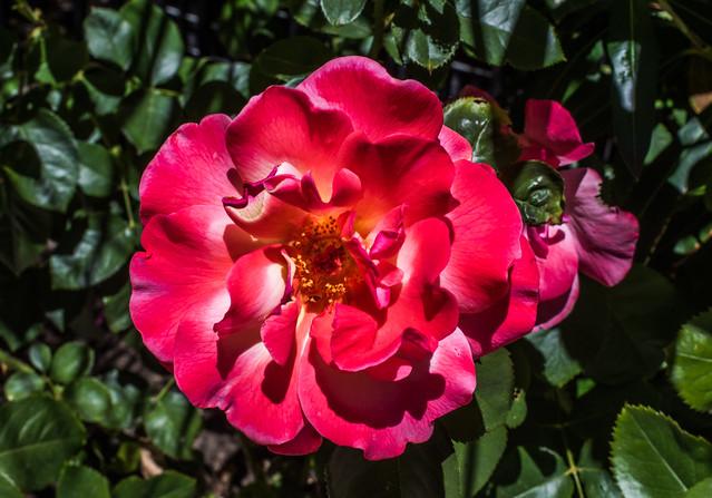 red summer rose