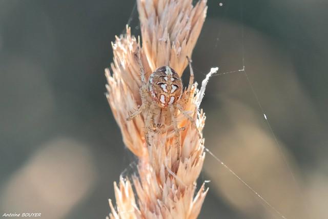 Araignée camouflée
