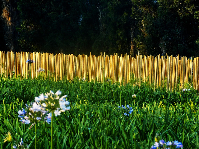 Stakes at Golden Hour