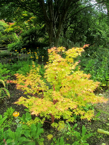 acer, Branklyn Garden, Perth