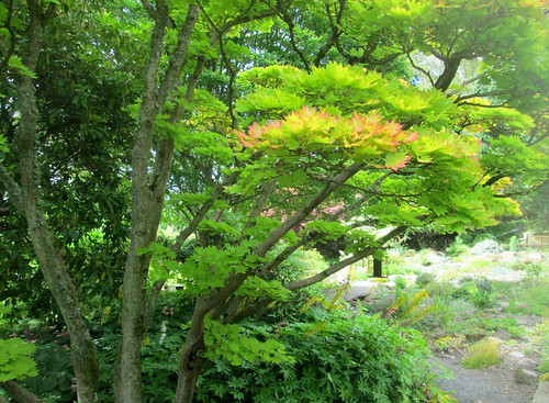 acer, Japanese Maple, Branklyn Garden, Perth