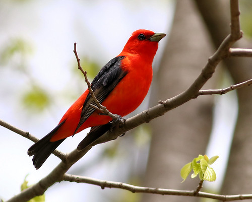 Scarlet Tanager (Piranga olivacea), Mentor Lagoons, OH May 16, 2020 by Tom Fishburn | by Western Cuyahoga Audubon
