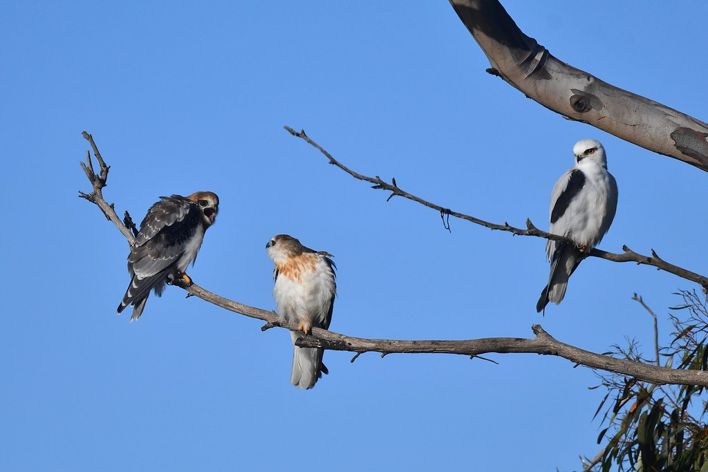 Black -shouldered Kites ( time together )