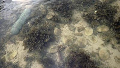 Tongue mushroom coral (Herpolitha limax) with bleaching Circular mushroom coral (Fungia sp.)