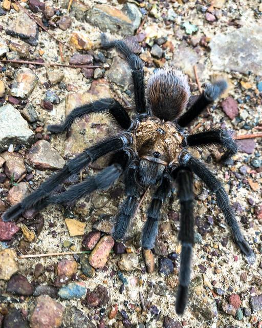 Arkansas chocolate tarantula, Aphonopelma hentzi (iPhone)
