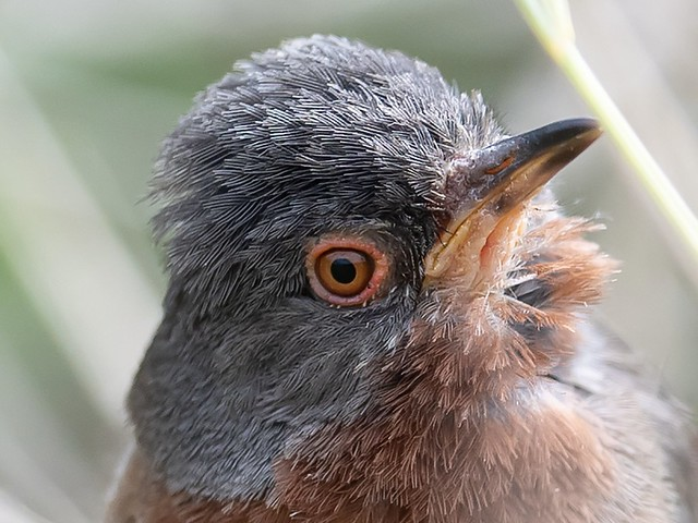Dartford Warbler - ultra close up. Distance 3.6 m 😊