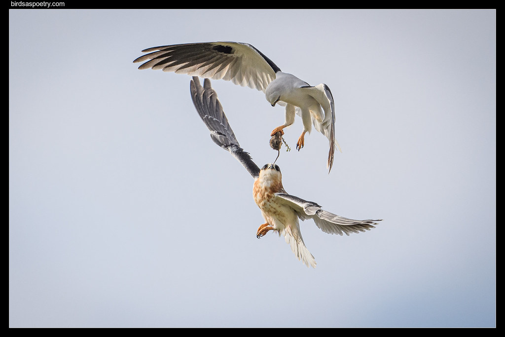 Black-shouldered Kite: I've got this one Dad.