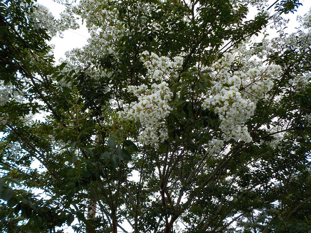White Blossoms Of A Crape Myrtle.