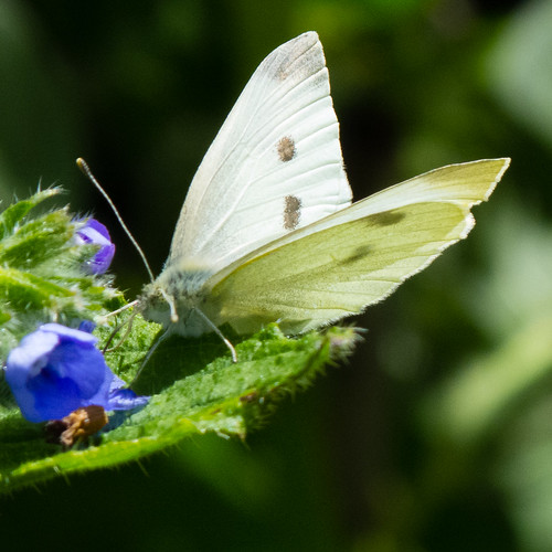 Fuel stop, small white butterfly
