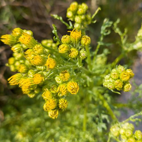 Buds, opening, open: ragwort