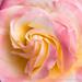 Pastel Rose, 4.28.20
