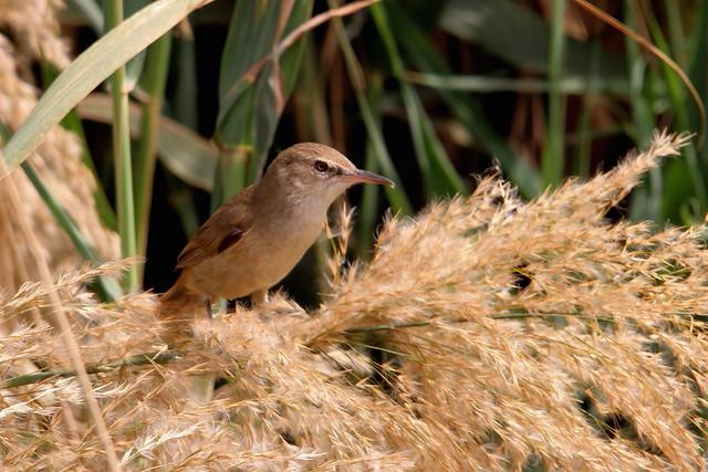 Clamorous Reed Warbler, Kings Island, Luxor, Egypt
