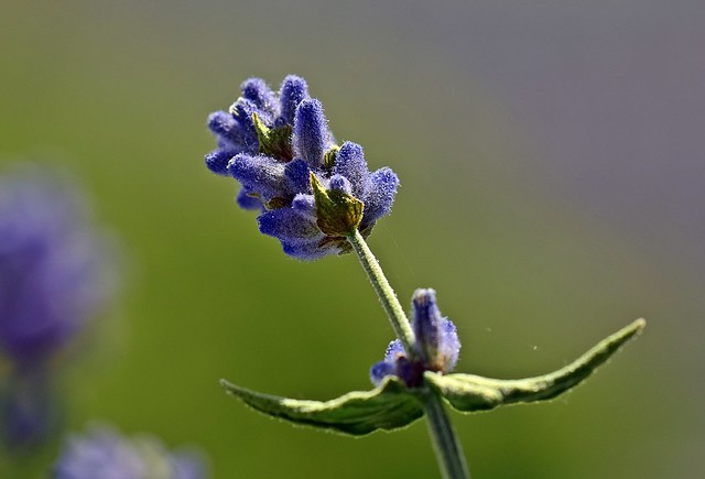A lavender on our balcony