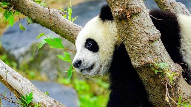 #InBetwenn - Panda - 8617