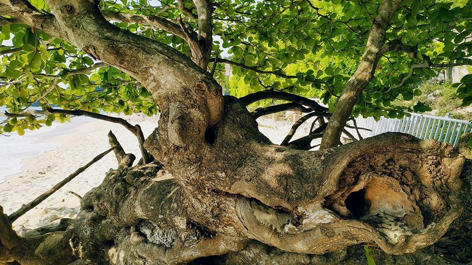 モモタマナ木