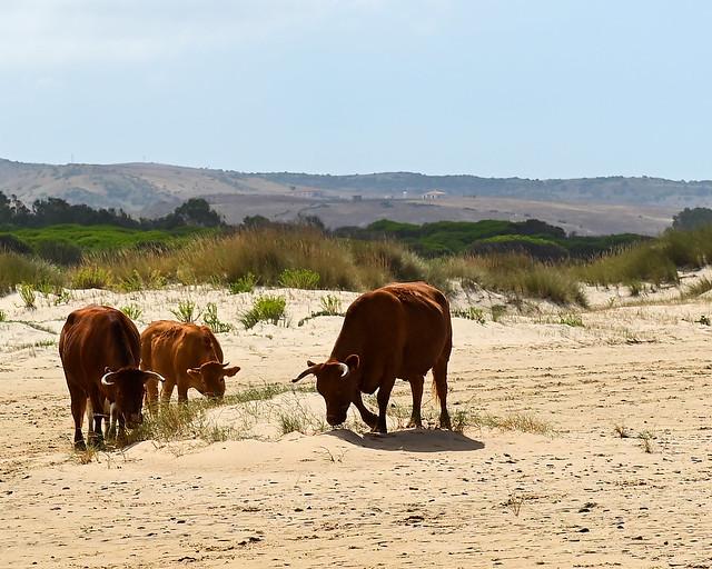 Vacas en la playa de Valdevaqueros
