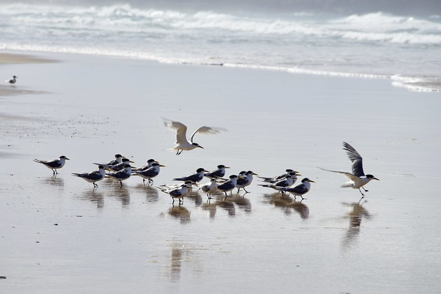 Crested Terns