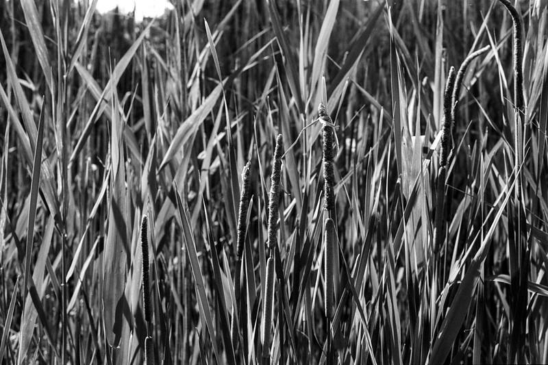 Bullrush Reeds