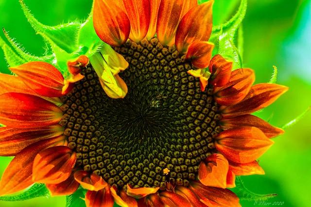 80205652 sunflower