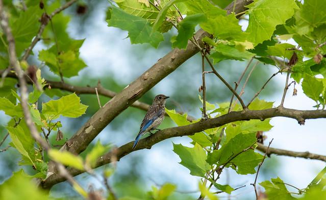 young bluebird
